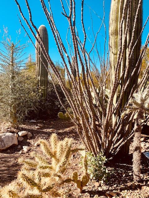 Saguaro National Park Ocatillo Cactus and Jumping Cholla Cactus
