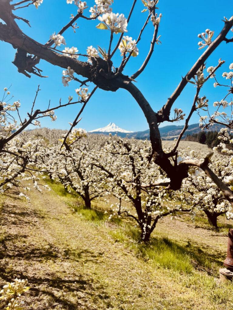 Field of trees blossom