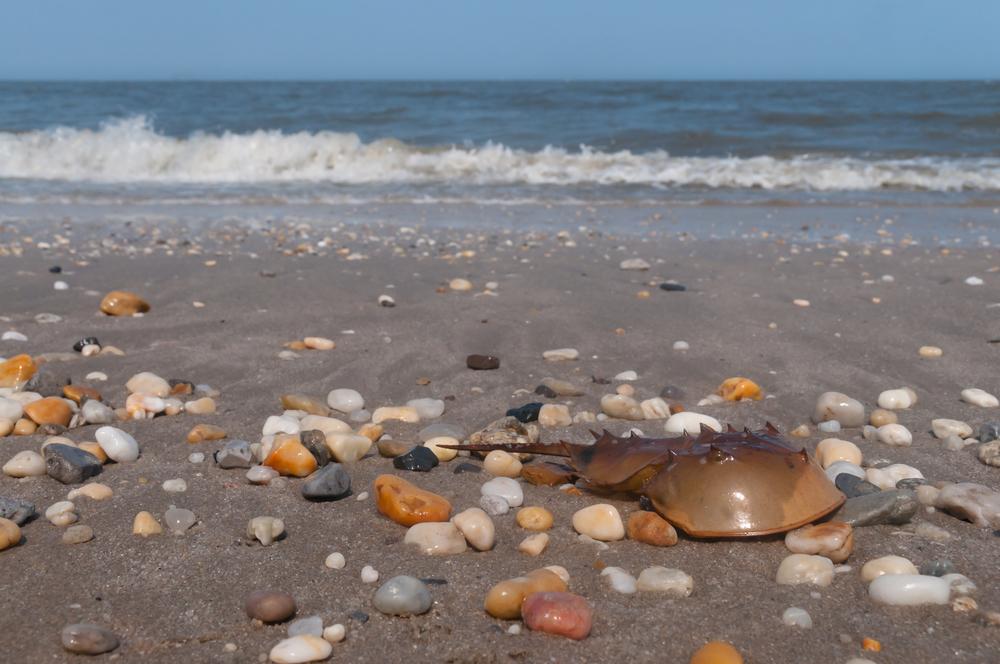 Horseshoe crab on Broadkill Beach