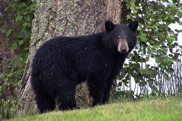 a black bear near a tree, staring at the camera