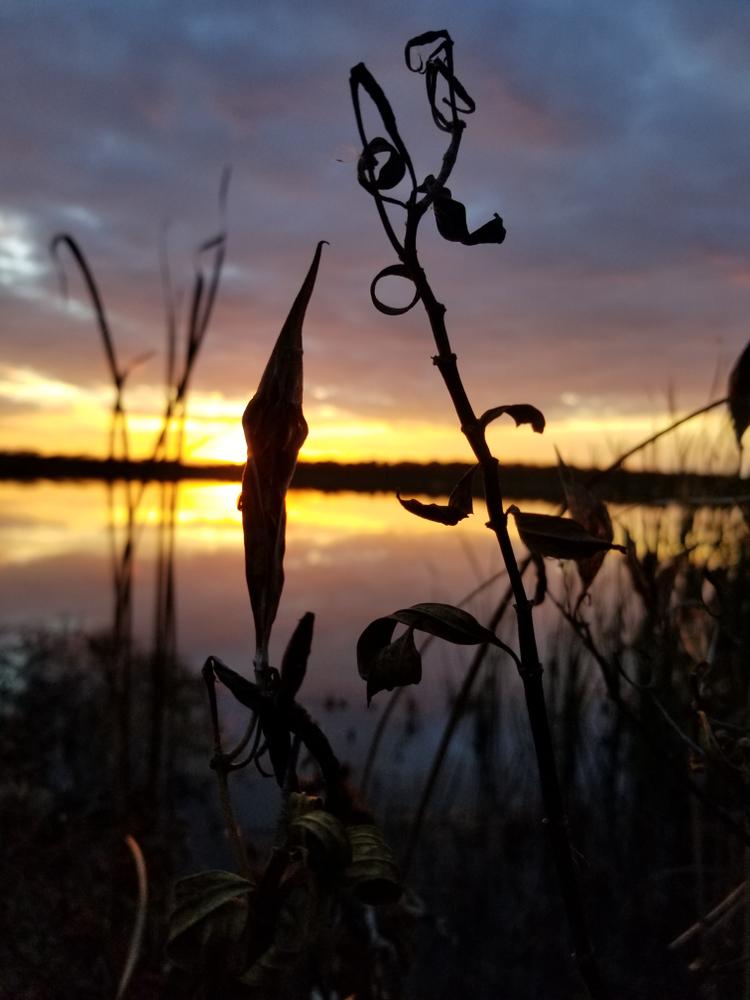 Reeds near lake in sunset, Kill Creek Park, Johnson County, Kansas, fall 2018