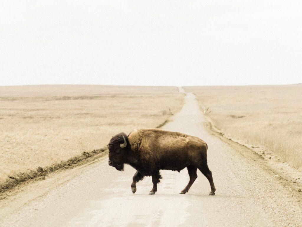 Bison on a Prairie