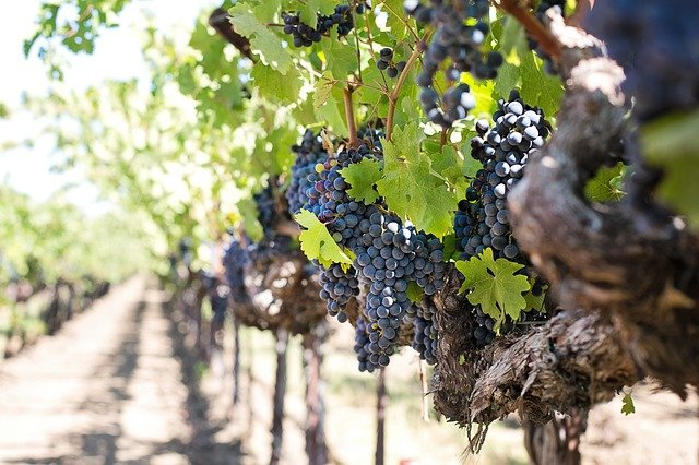 purple grapes hanging from a vine at a vineyard