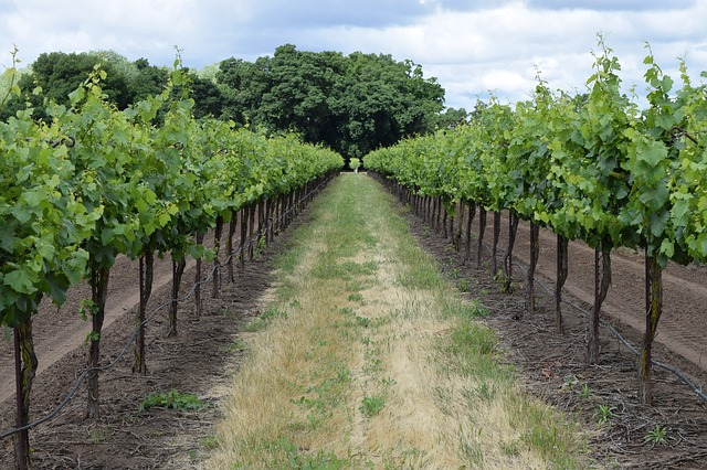 a row of grapevines stretching into the distance
