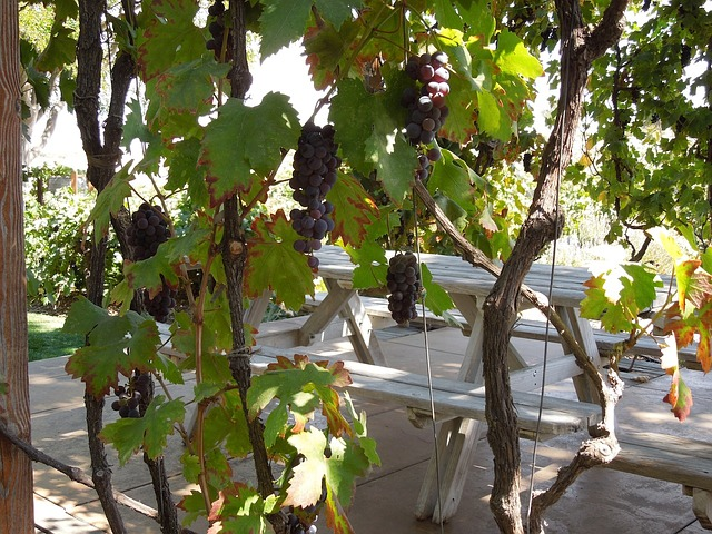 grapes on a vine at a Paso Robles vineyard