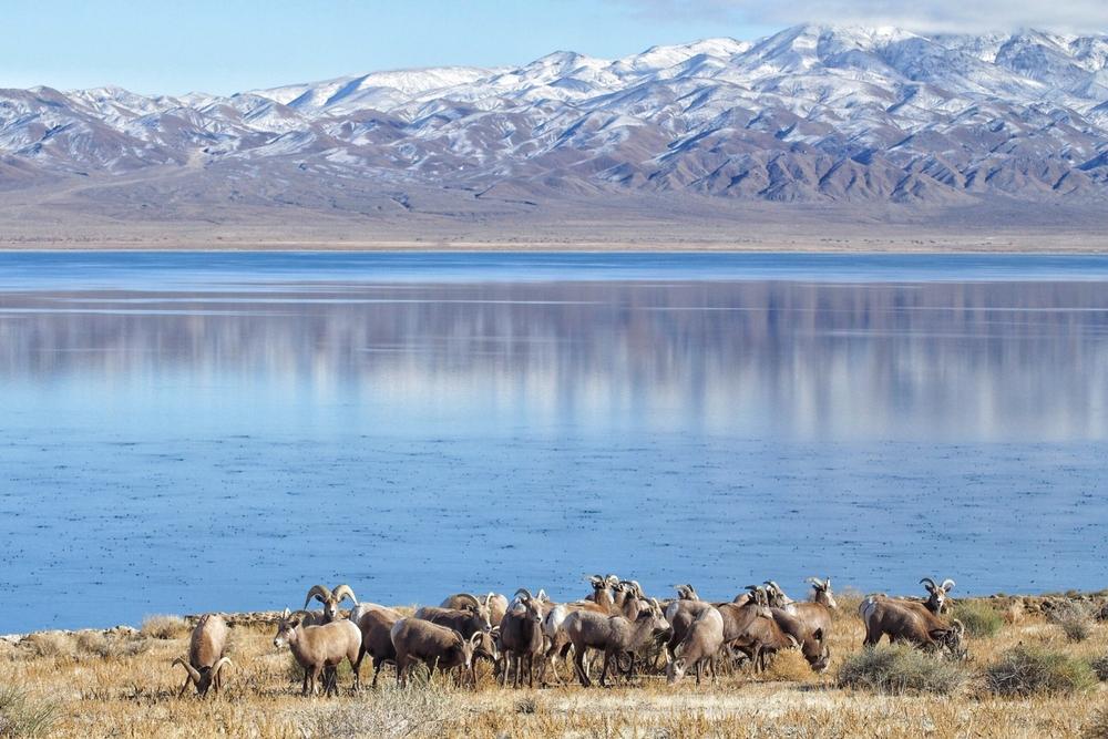 Bighorn Sheep - Walker Lake, NV