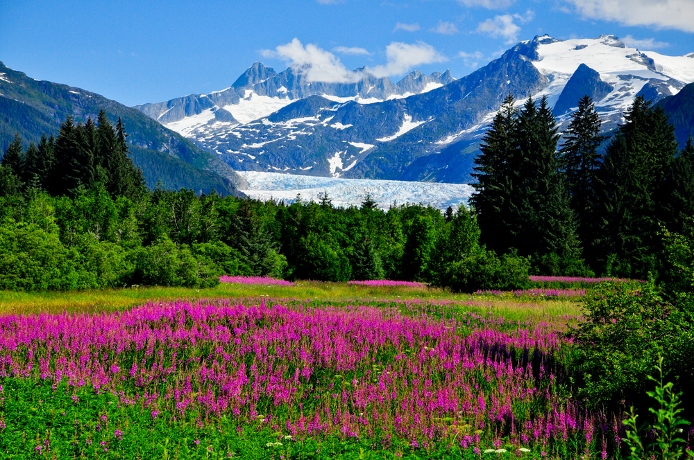 A field of pink flowers surrounded by green trees and snow-capped mountains in the distance