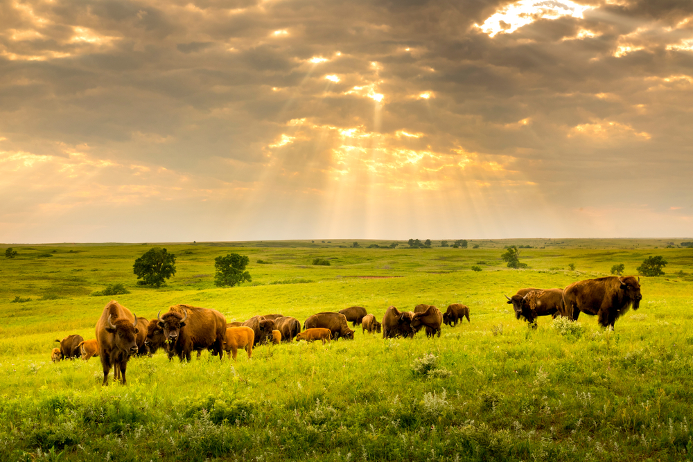 A herd of bison grazes on a vast expanse of green prairie under a cloudy sky with rays of sunlight breaking through.
