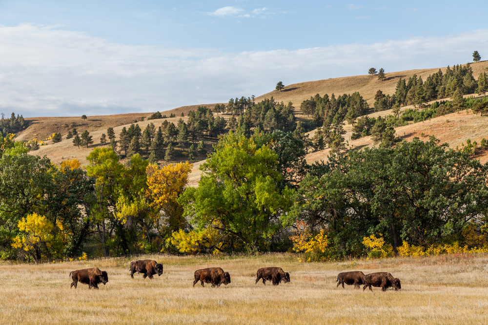 A herd of buffalo grazing on beige colored grass in front of tall green trees and rolling hills.
