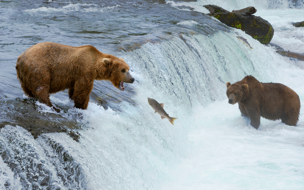 A grizzly bear hunting salmon at Brooks falls. Coastal Brown Grizzly Bears fishing at Katmai National Park, Alaska. , Katmai National Park, Alaska.