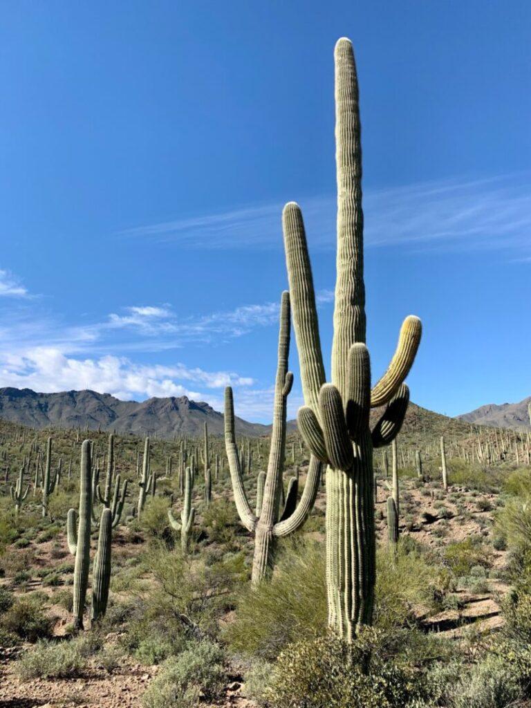 Desert landscape with cacti