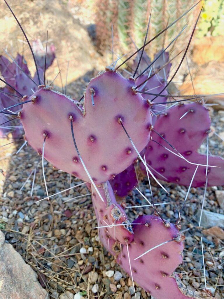 Heart shaped cacti