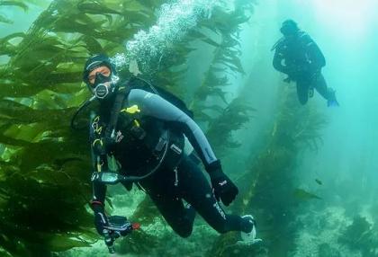 Two scuba divers swim among seaweed