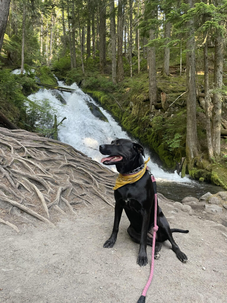 Dog poses near waterfall in the woods