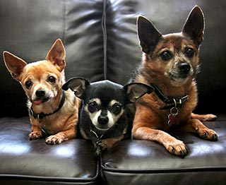3 dogs sitting on leather sofa- link to leather cleaning instructions