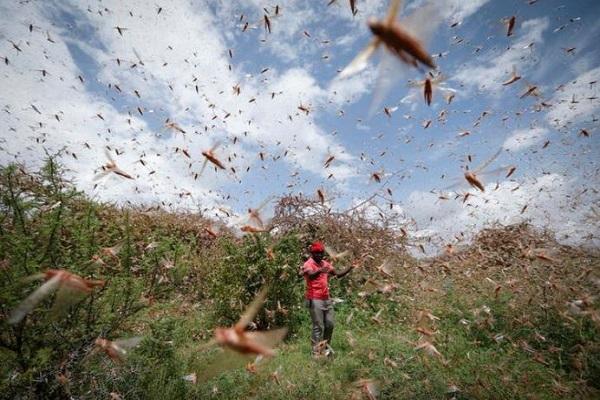 Tiddi Attack: भारत में टिड्डियों का हमला, फसलों को हो रहा भारी नुकसान; कई राज्यों में अलर्ट जारी