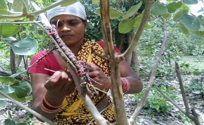 Chhattisgarh: कृषि के क्षेत्र में प्रदेश सरकार का बड़ा फैसला, लाह की खेती करने वाले किसानों को मिलेगी अल्पकालीन कृषि लोन की सुविधा