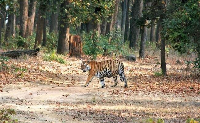 Jharkhand: पलामू टाइगर रिजर्व में बाघों की गिनती करने में रोड़ा अटका रहे नक्सली, सता रहा ये डर