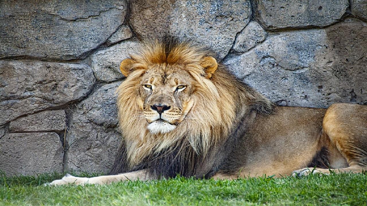 देश में पहली बार जानवरों में फैला कोरोना वायरस, 8 बब्बर शेर कोरोना पॉजिटिव मिले
