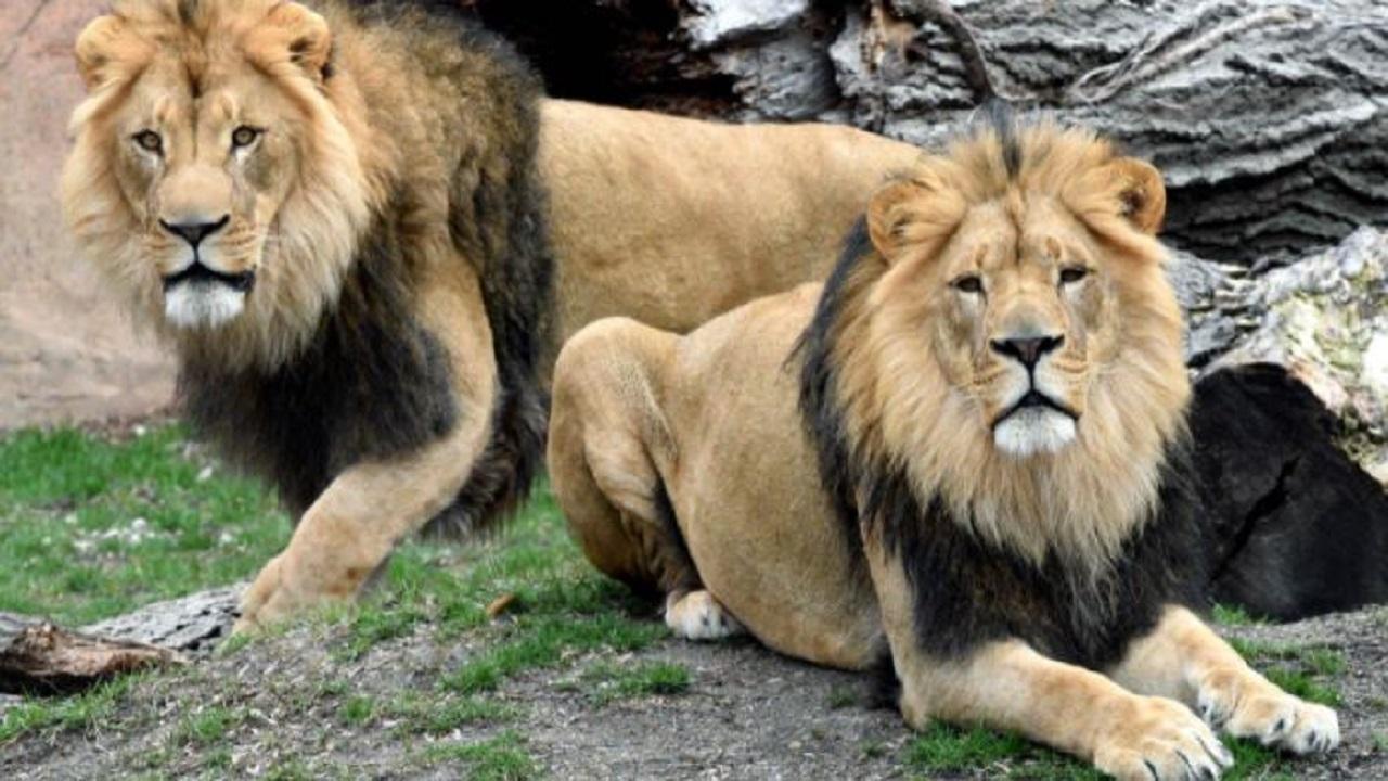 जानवरों को भी चपेट में ले रहा कोरोना का डेल्टा वैरिएंट, तमिलनाडु के चिड़ियाघर में 4 शेर संक्रमित