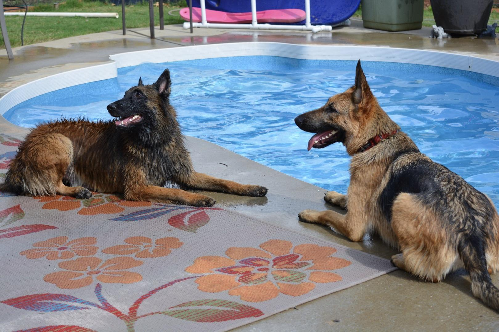 two dogs by the pool