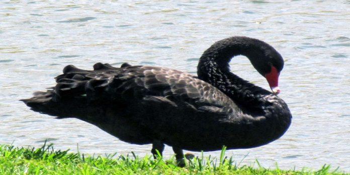 Black Swan In Business