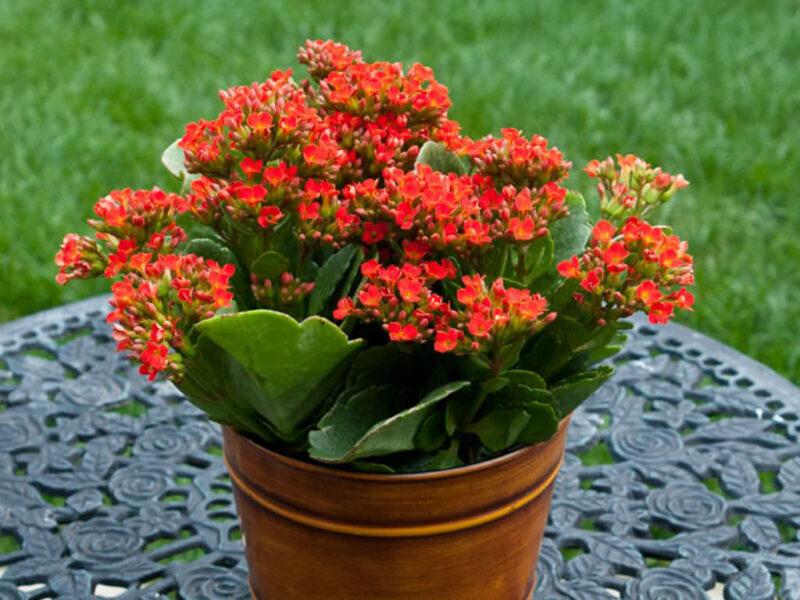 Kalanchoe flower plant