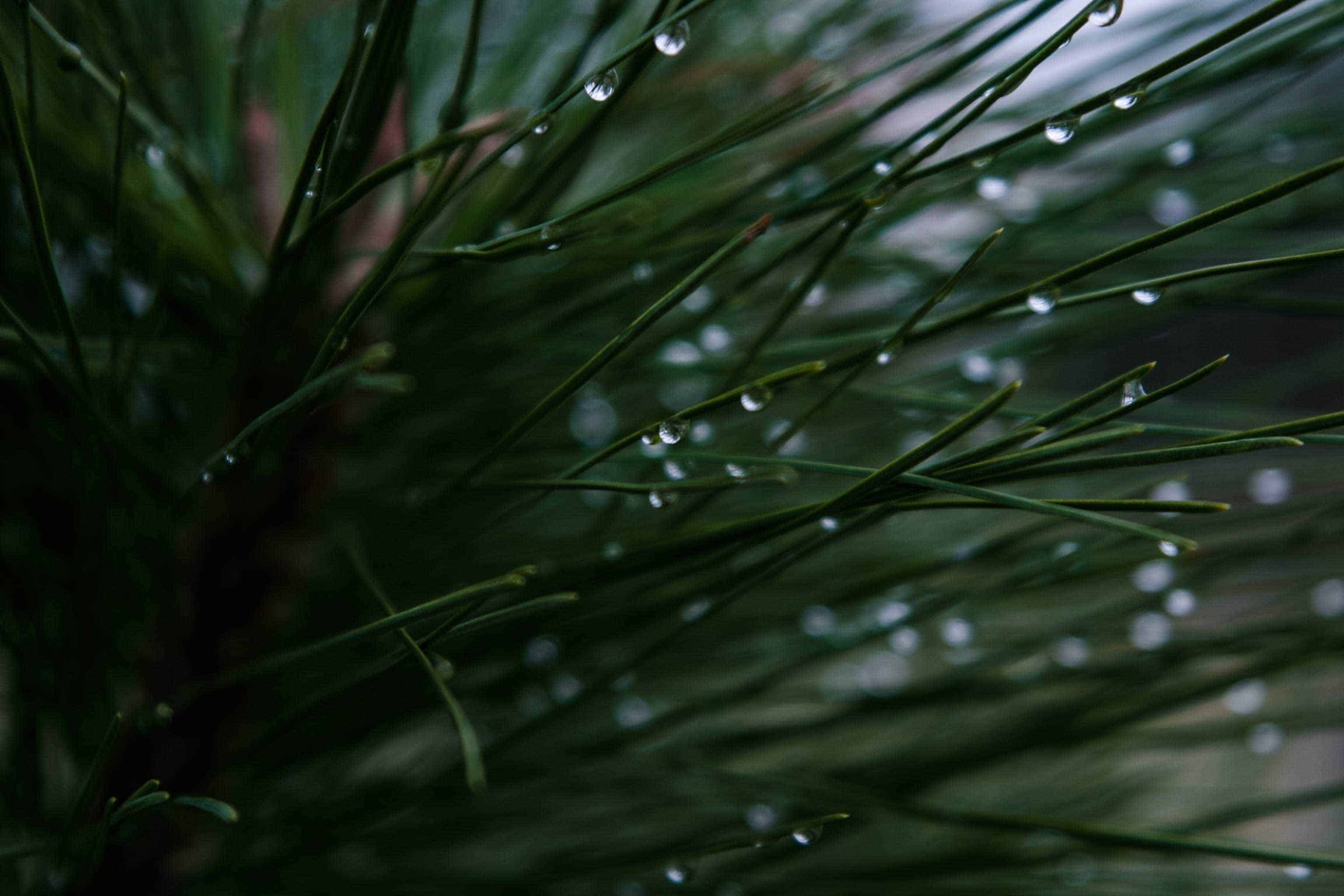 Pine Needle Tea Pine is one of my favorite plants (I admit to having many favorites!). The tree was