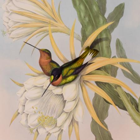 Gould - Hummingbird