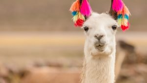 alpaca with ear tassles