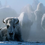 Spend This Christmas in Yellowstone