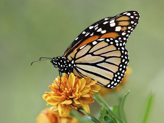 A monarch butterfly alights on a marigold