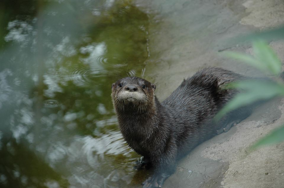 An otter plays in Wild Instincts' pond.