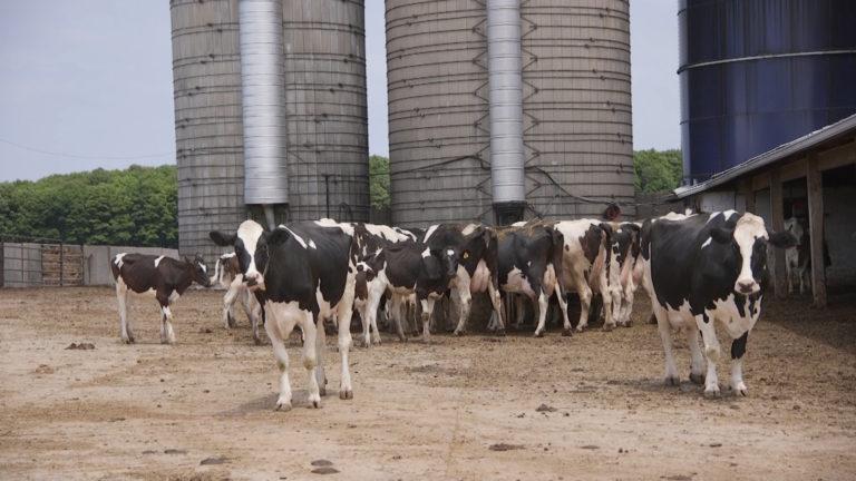 Cows in a Wisconsin farm