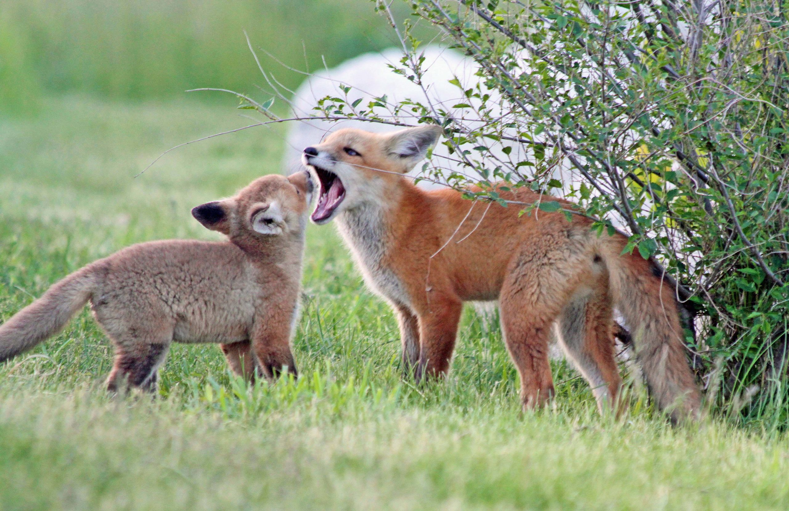 Two fox kits playing