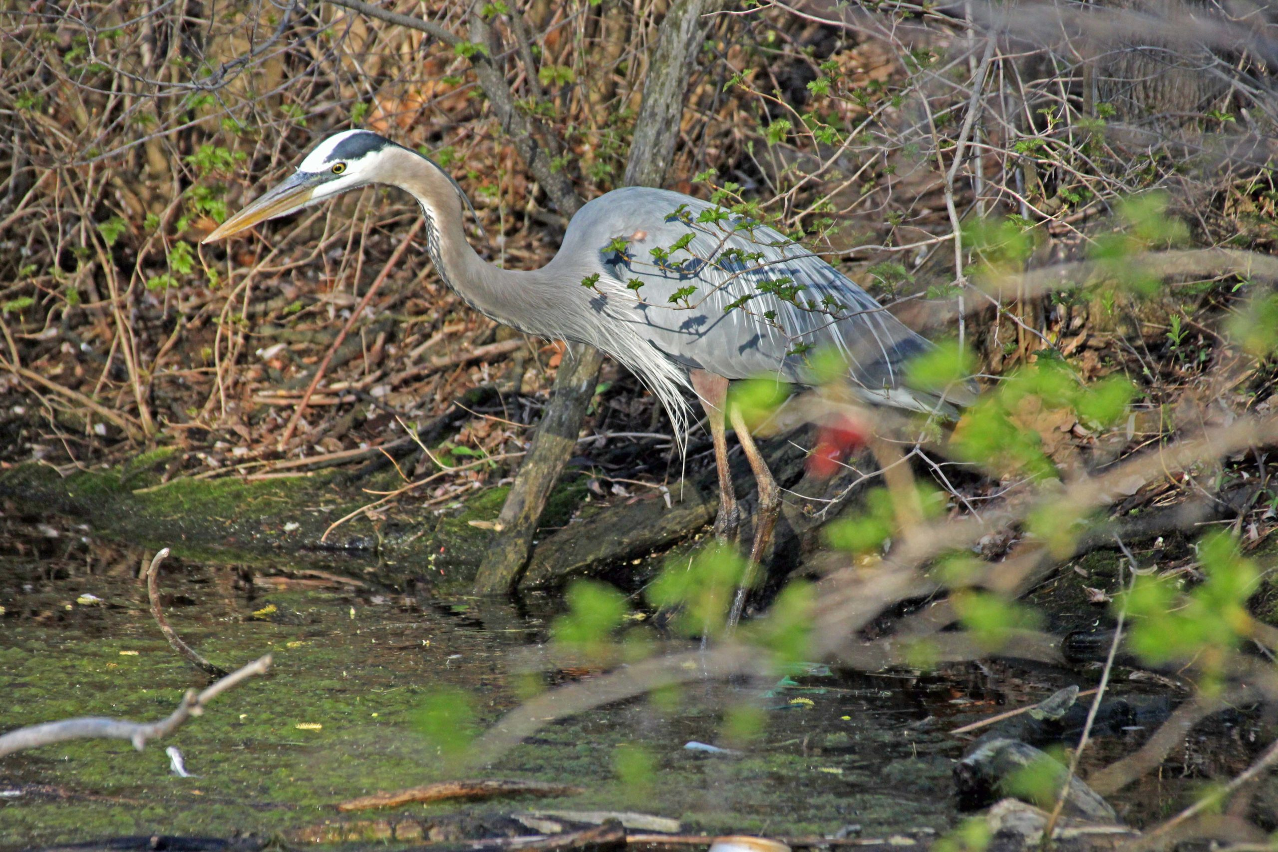 A Great Blue Heron hunts for fish
