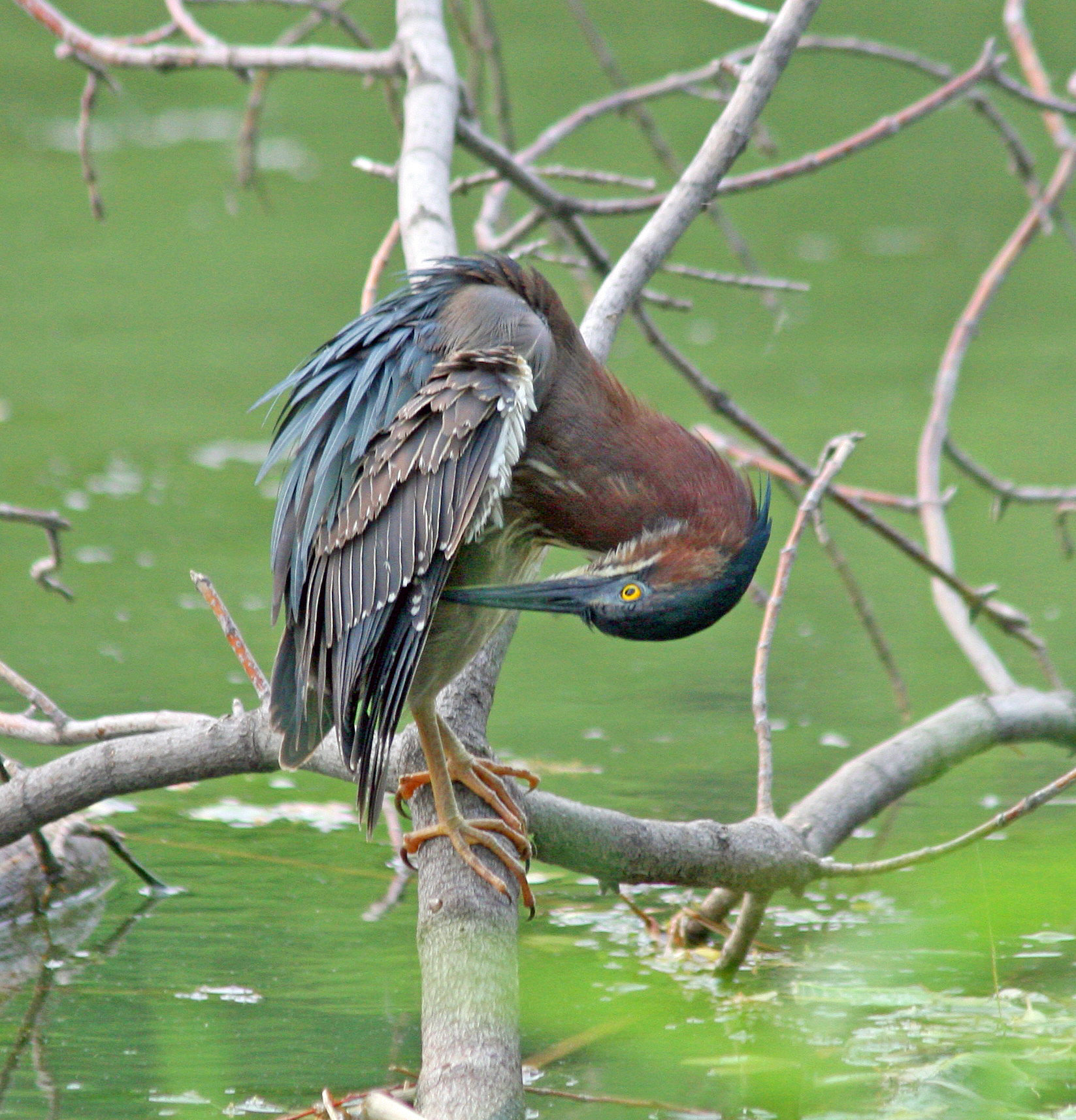 A green heron sits on a branch preening