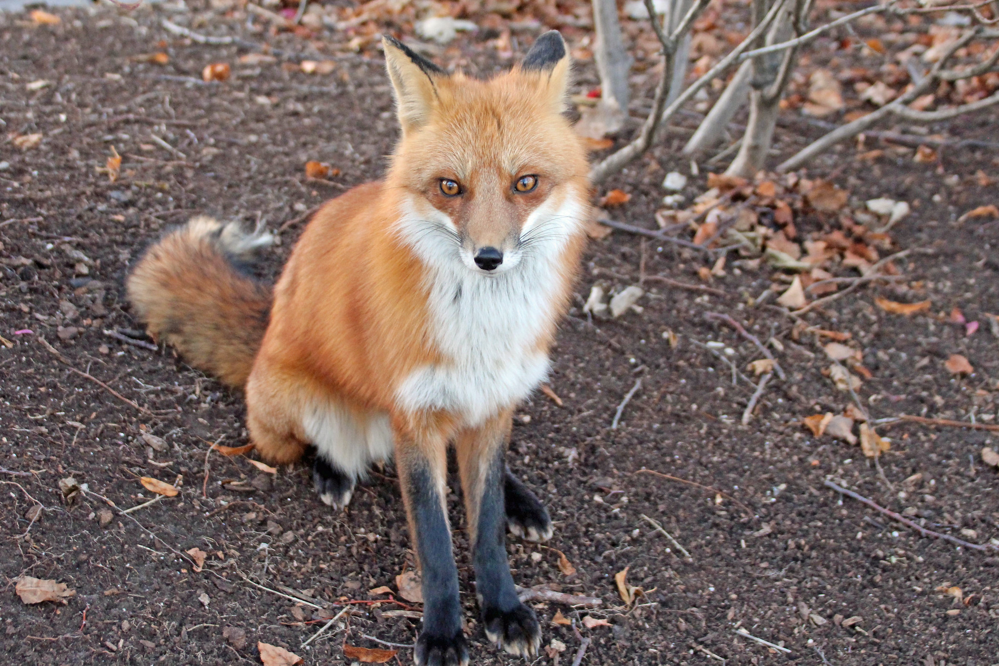 Red fox sitting on the ground