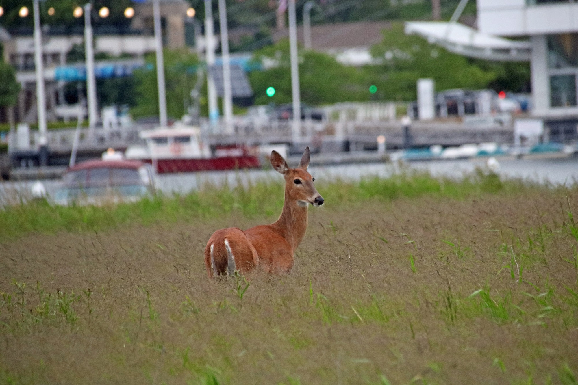 A young White-Tailed Doe in the heart of the city