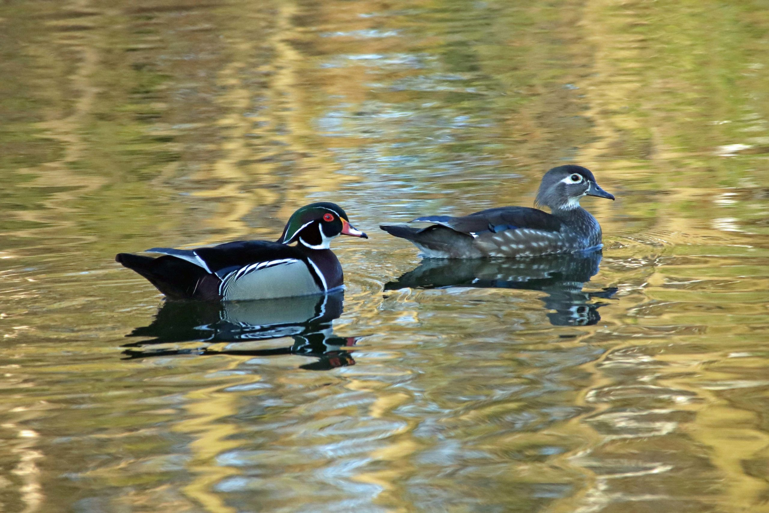 A pair of wood ducks swimming