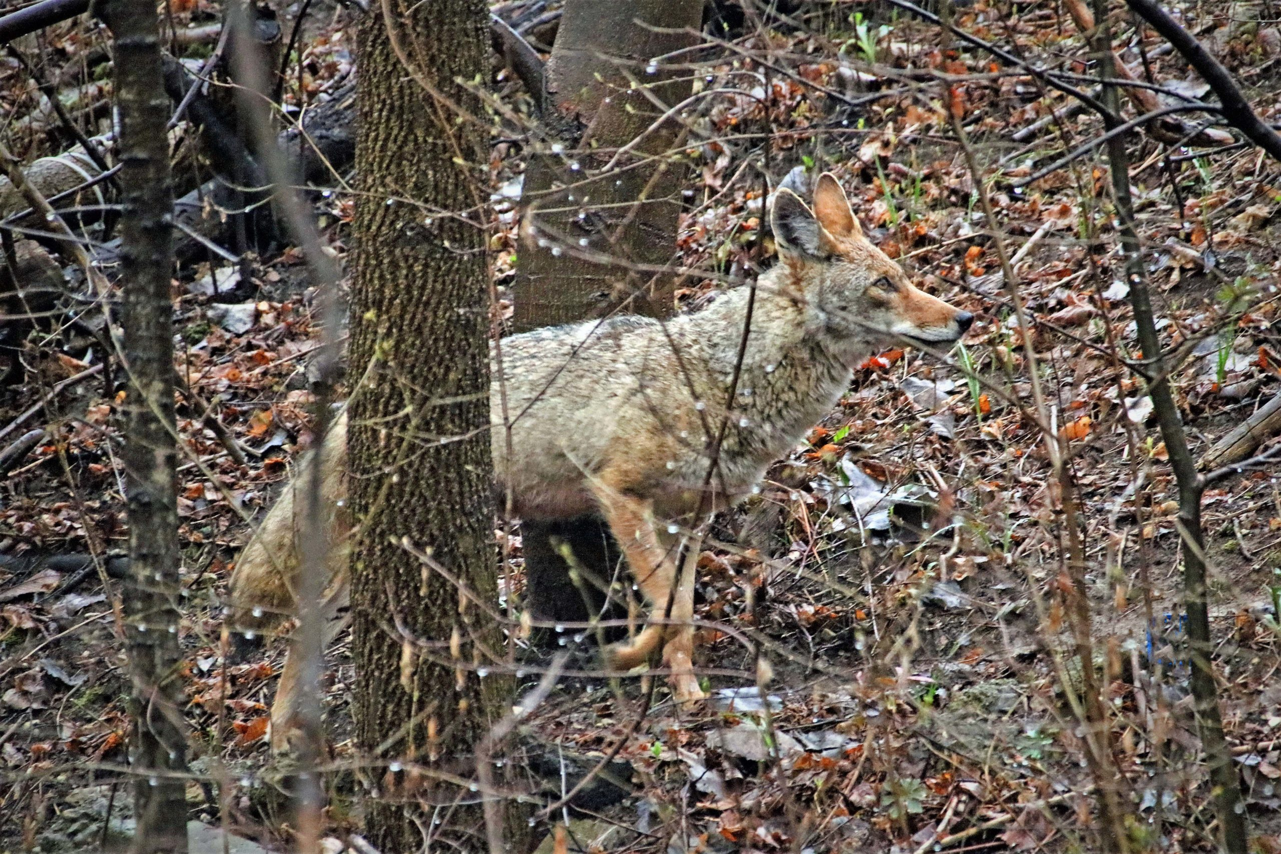 Coyote running in the woods