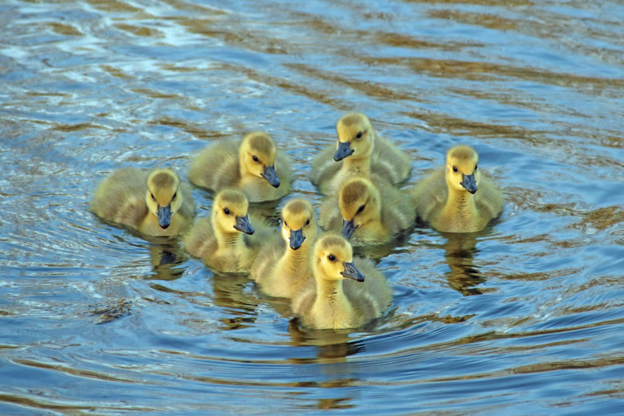 Gosslings swimming