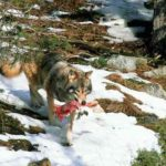 Living Among Wolves: Protecting Wildlife Predators