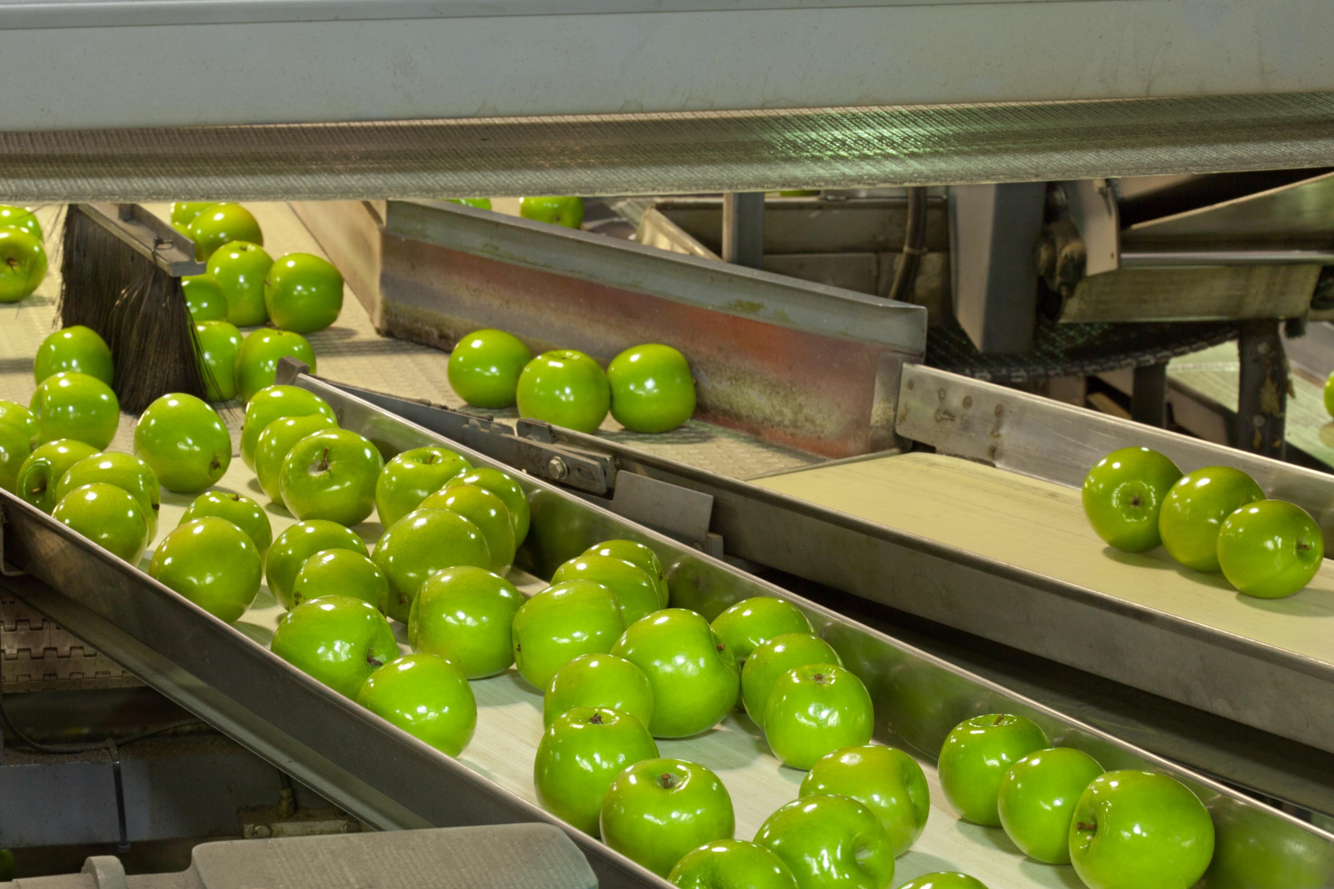 Apples being sorted on food grade conveyor belts