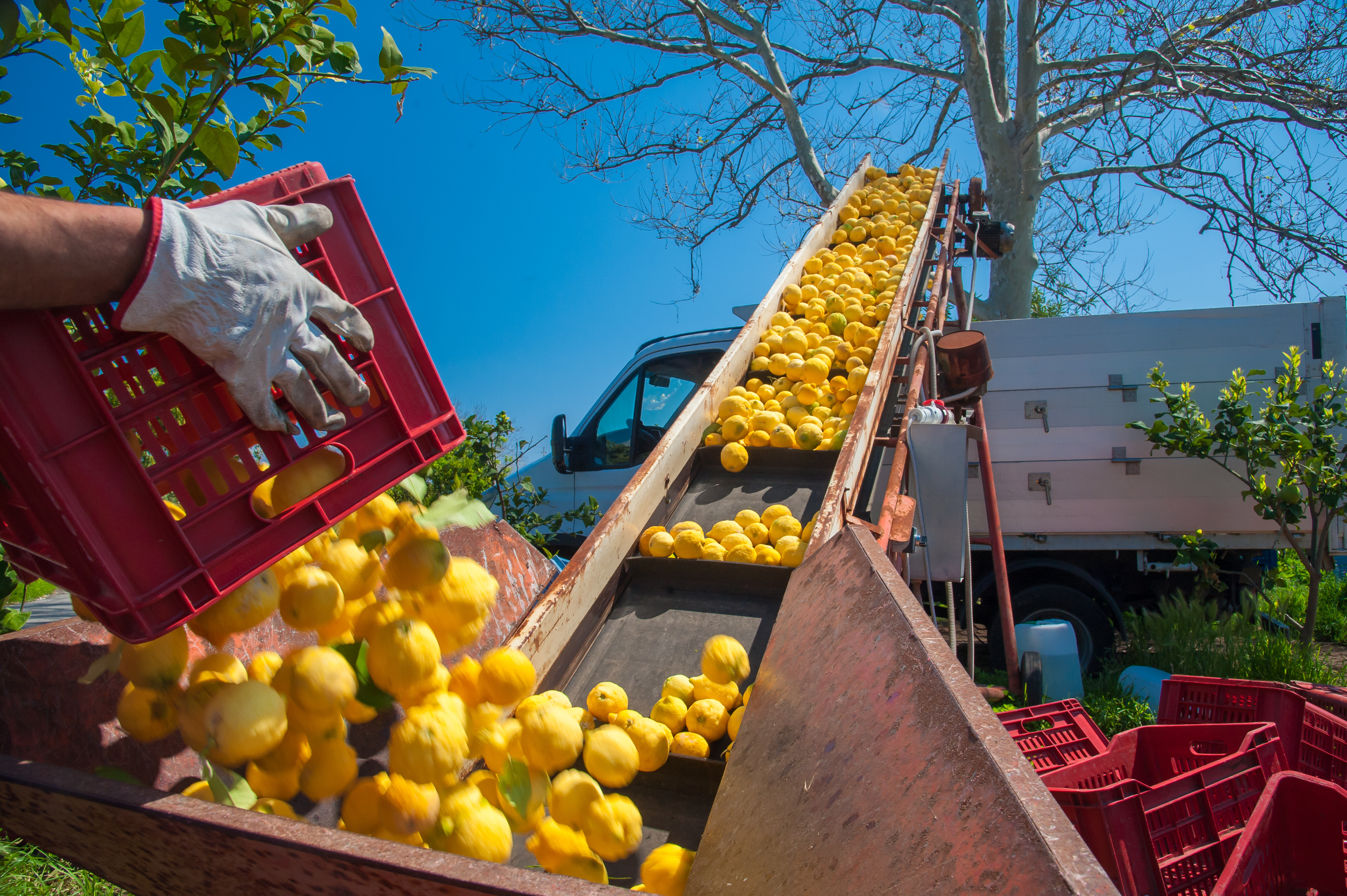 Lemons being transported from tree to truck via cleated conveyor belt
