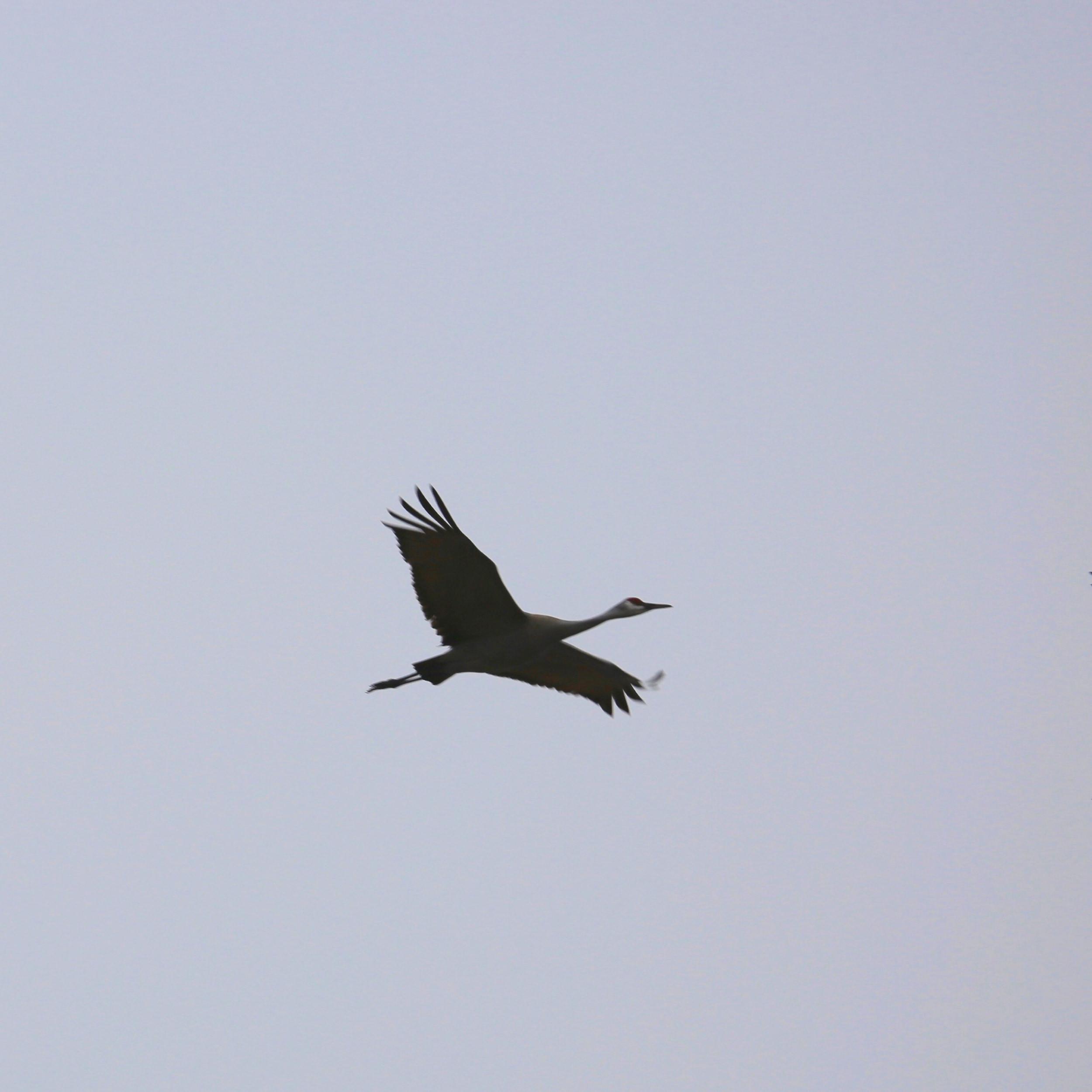 Ancient Sandhill Crane